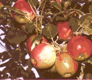Mrvs Boyle Alberta Fruit Trees Ornamental Trees
